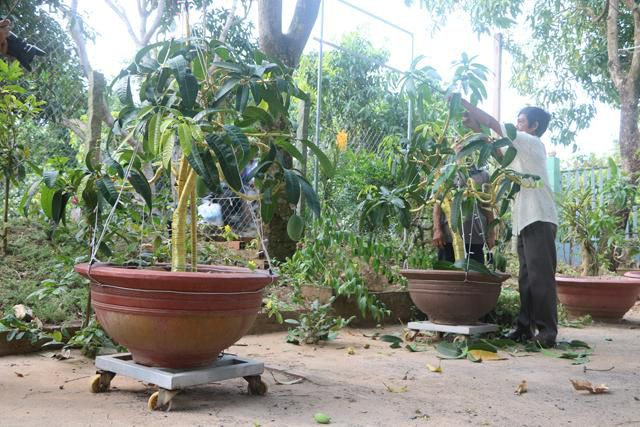 Lạ mà hay: Ở nơi này, dân kiếm bộn tiền nhờ bonsai xoài, vú sữa Ảnh 1
