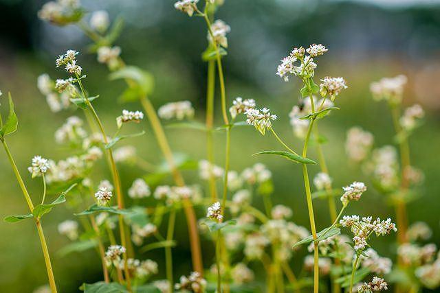Mãn nhãn vườn hoa tam giác mạch gần 1 ha ở Hà Nội 'hút' khách tham quan Ảnh 12