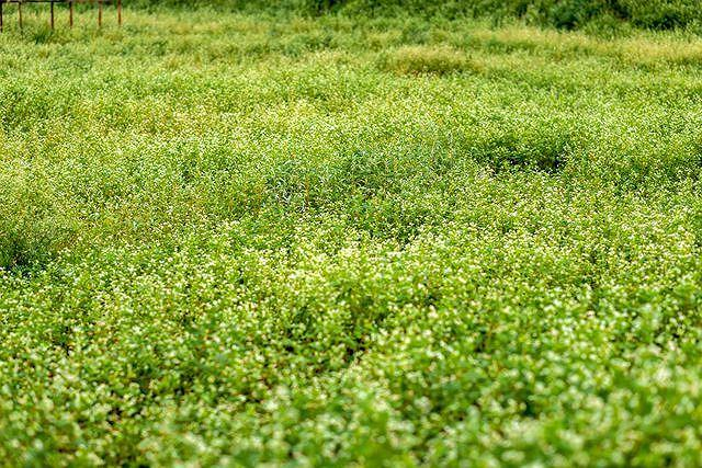 Mãn nhãn vườn hoa tam giác mạch gần 1 ha ở Hà Nội 'hút' khách tham quan Ảnh 3