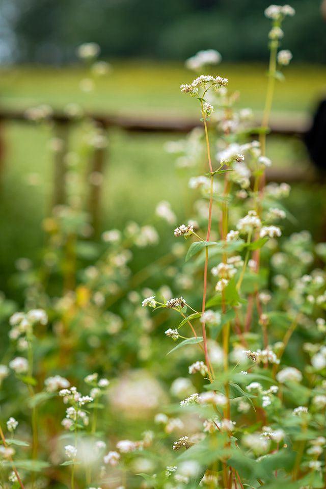 Mãn nhãn vườn hoa tam giác mạch gần 1 ha ở Hà Nội 'hút' khách tham quan Ảnh 8