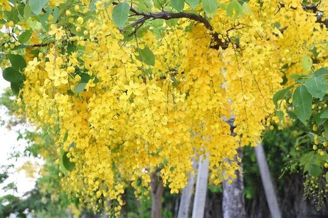 Sắc vàng quyến rũ trên những con đường ở Bình Dương Ảnh 1