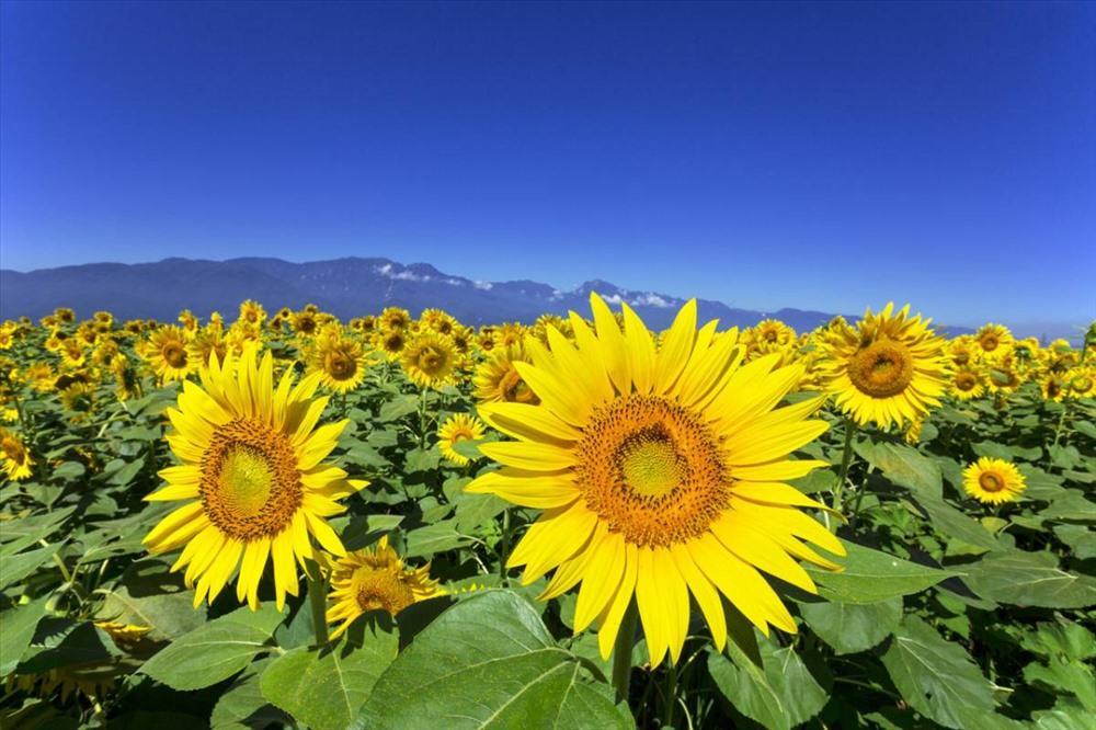 Đến Đà Lạt, nhất định không nên bỏ lỡ những vườn hoa đẹp nức tiếng này Ảnh 3