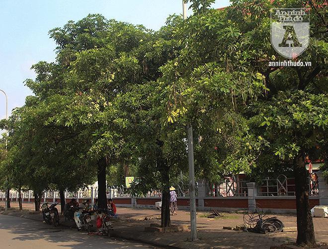 Kỳ lạ hoa sữa nở giữa mùa hè khắp phố phường Hà Nội Ảnh 1
