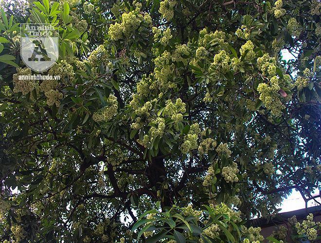Kỳ lạ hoa sữa nở giữa mùa hè khắp phố phường Hà Nội Ảnh 7