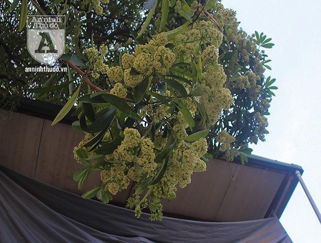 Kỳ lạ hoa sữa nở giữa mùa hè khắp phố phường Hà Nội Ảnh 4