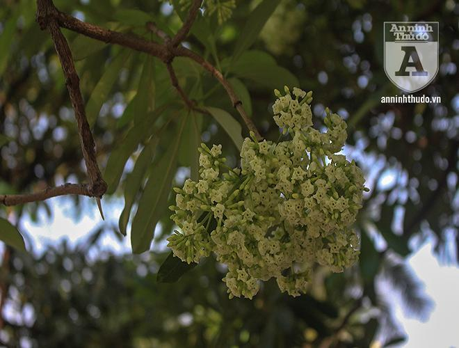 Kỳ lạ hoa sữa nở giữa mùa hè khắp phố phường Hà Nội Ảnh 15