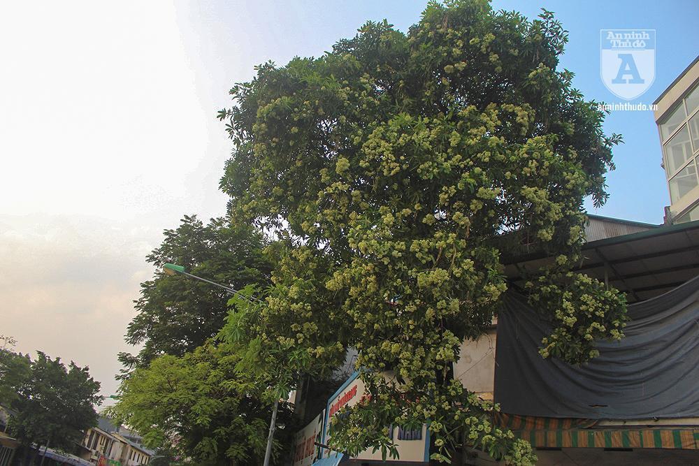 Kỳ lạ hoa sữa nở giữa mùa hè khắp phố phường Hà Nội Ảnh 2