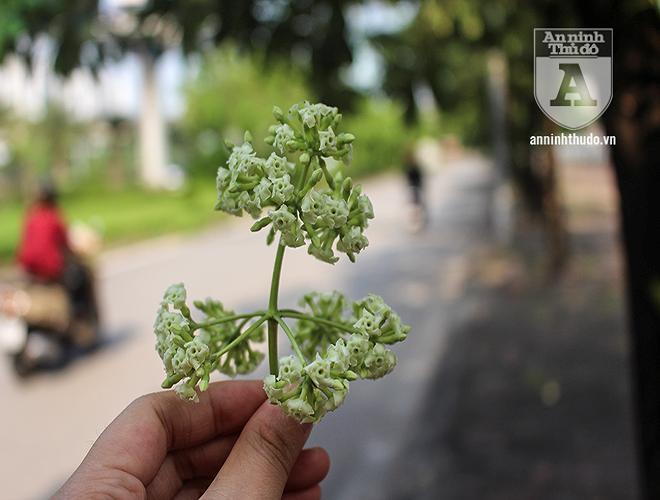 Kỳ lạ hoa sữa nở giữa mùa hè khắp phố phường Hà Nội Ảnh 11