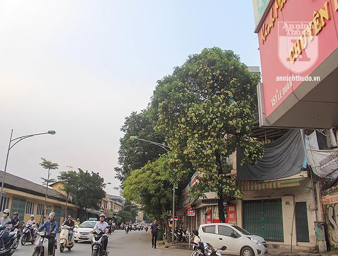 Kỳ lạ hoa sữa nở giữa mùa hè khắp phố phường Hà Nội Ảnh 3