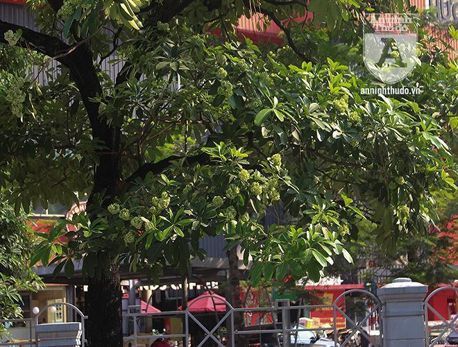 Kỳ lạ hoa sữa nở giữa mùa hè khắp phố phường Hà Nội Ảnh 9