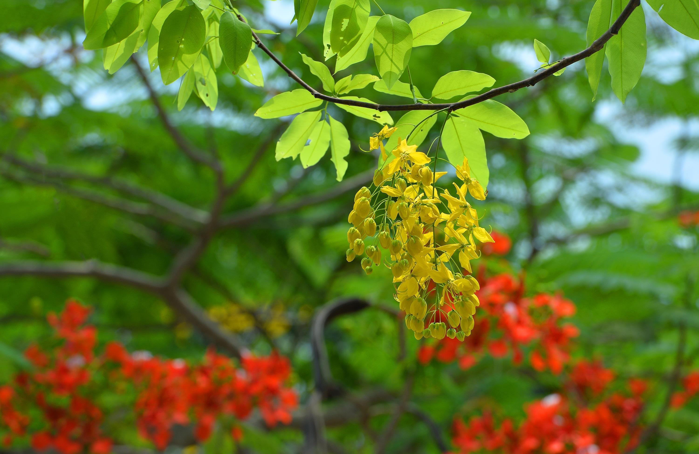 Hà Nội rực rỡ trong những sắc hoa mùa hè Ảnh 36