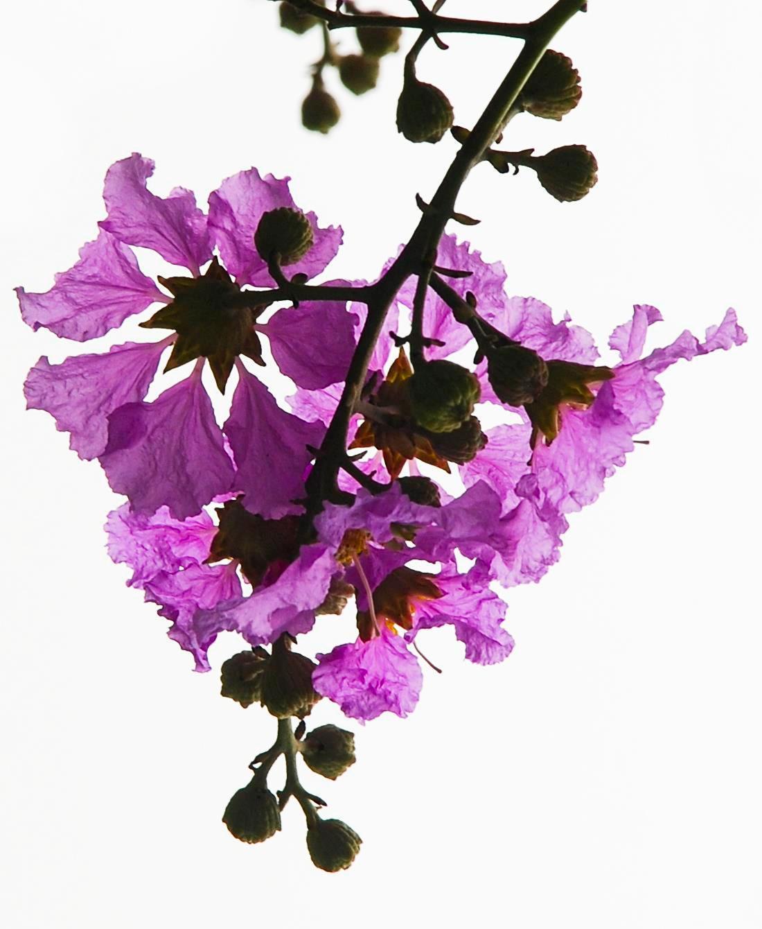 Hà Nội rực rỡ trong những sắc hoa mùa hè Ảnh 4