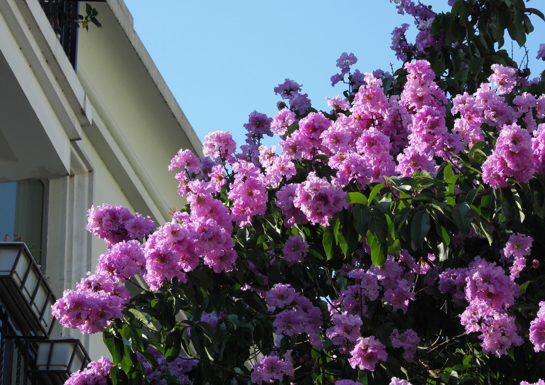 Hà Nội rực rỡ trong những sắc hoa mùa hè Ảnh 12