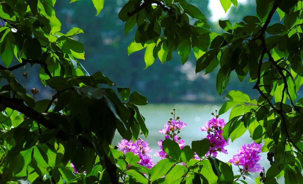 Hà Nội rực rỡ trong những sắc hoa mùa hè Ảnh 3