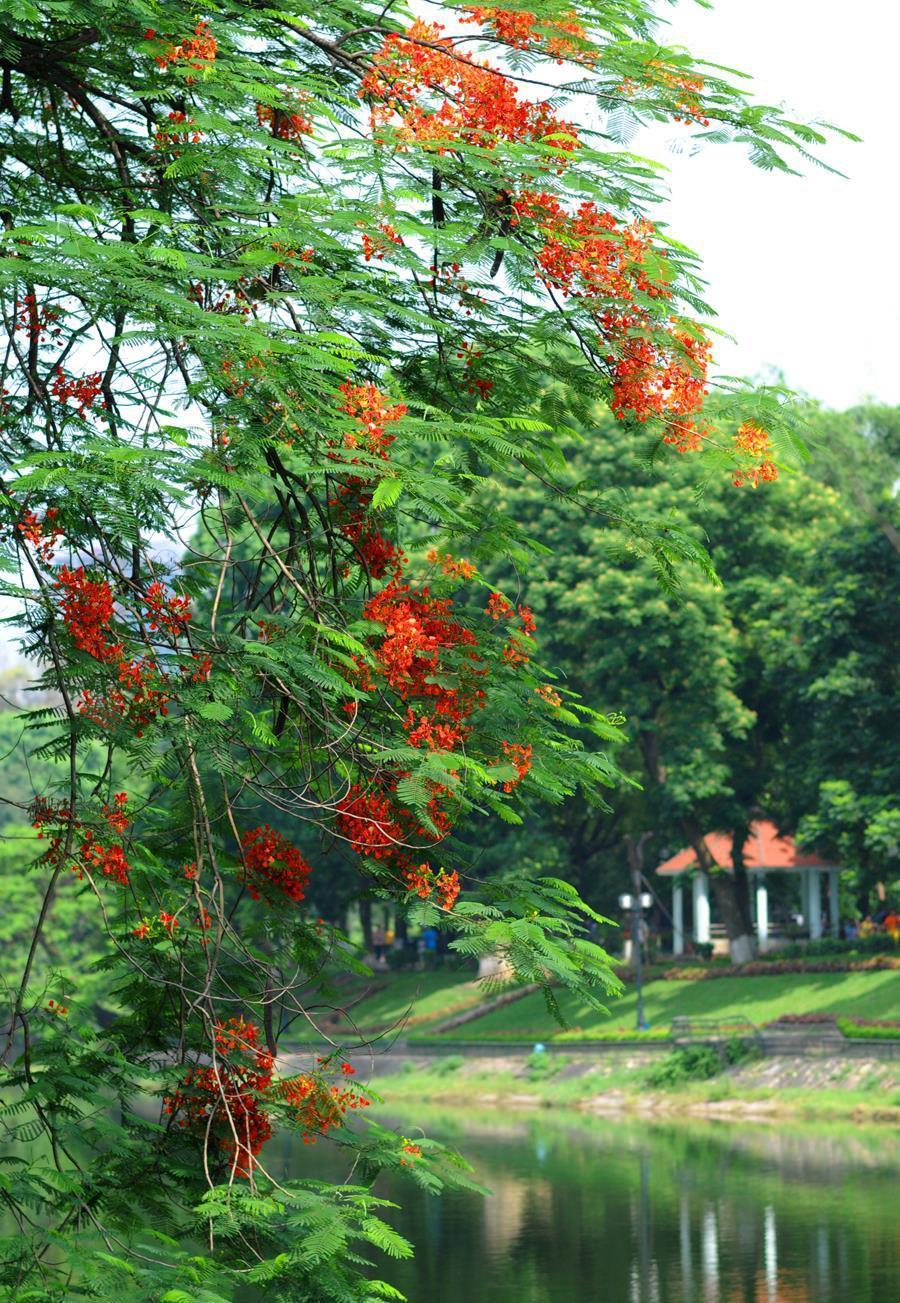 Hà Nội rực rỡ trong những sắc hoa mùa hè Ảnh 27