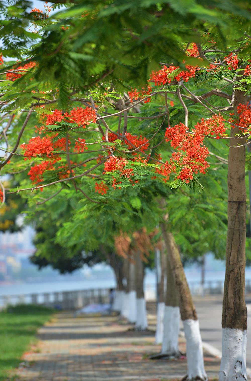 Hà Nội rực rỡ trong những sắc hoa mùa hè Ảnh 28