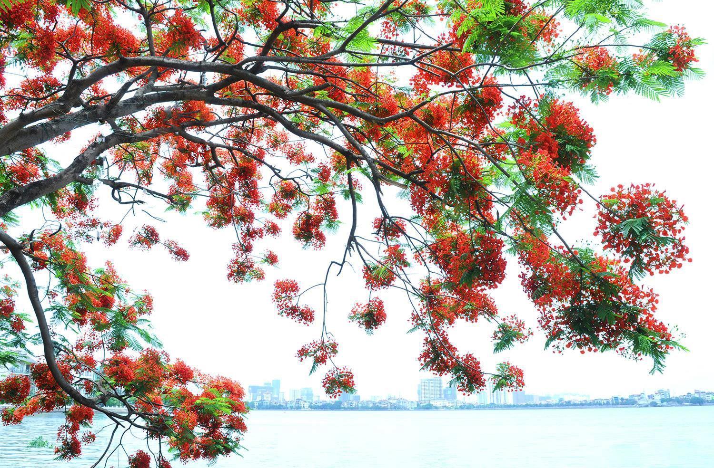 Hà Nội rực rỡ trong những sắc hoa mùa hè Ảnh 16