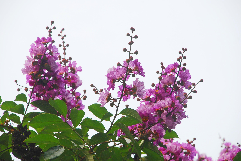 Hà Nội rực rỡ trong những sắc hoa mùa hè Ảnh 7