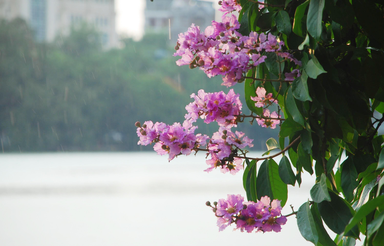 Hà Nội rực rỡ trong những sắc hoa mùa hè Ảnh 8