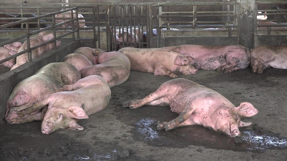 Xuất hiện ổ dịch tả lợn Châu Phi thứ 6, Hậu Giang tiêu hủy 1.200 con lợn Ảnh 1