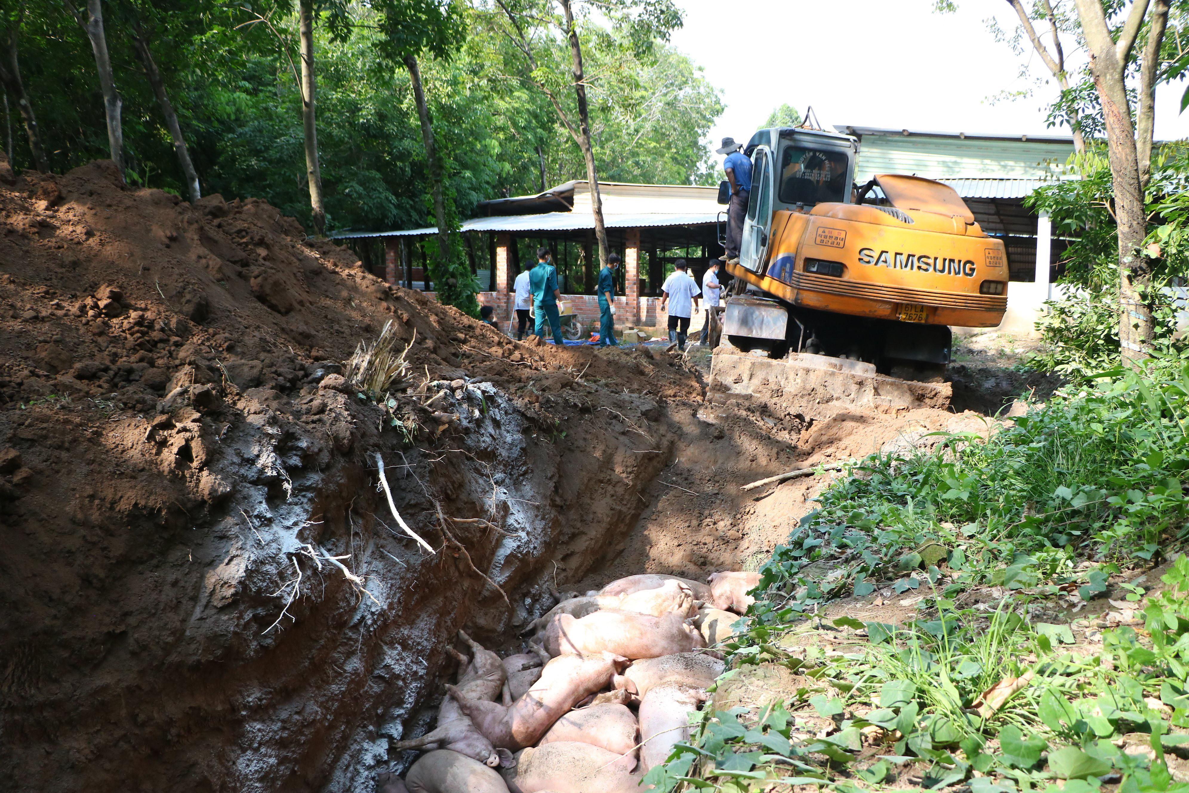 Bình Dương phát hiện 2 ổ dịch tả lợn châu Phi, tiêu hủy 1.000 con Ảnh 1