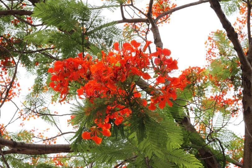 Ngắm sắc đỏ hoa phượng 'đốt cháy' trời hè Hà Nội Ảnh 4