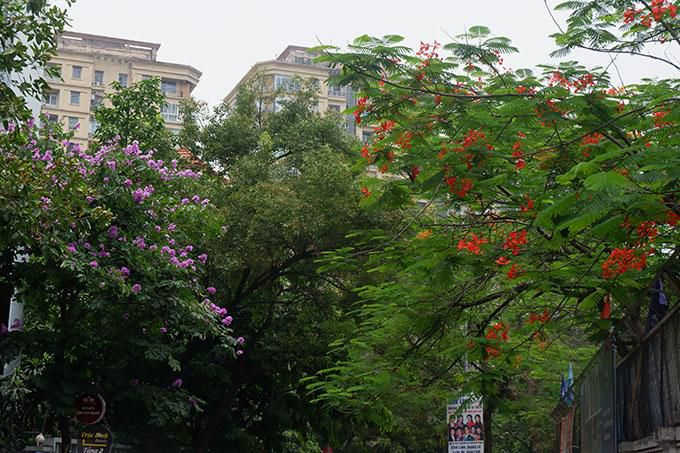 Ngắm sắc đỏ hoa phượng 'đốt cháy' trời hè Hà Nội Ảnh 9