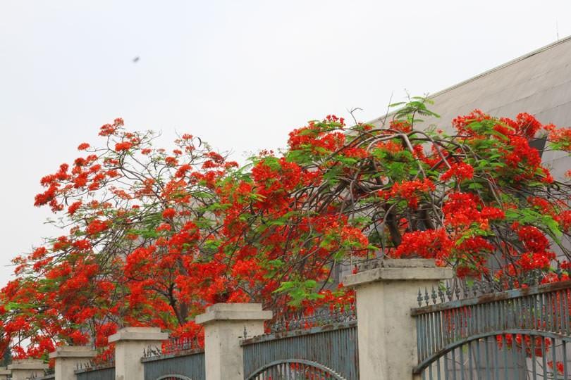Ngắm sắc đỏ hoa phượng 'đốt cháy' trời hè Hà Nội Ảnh 5