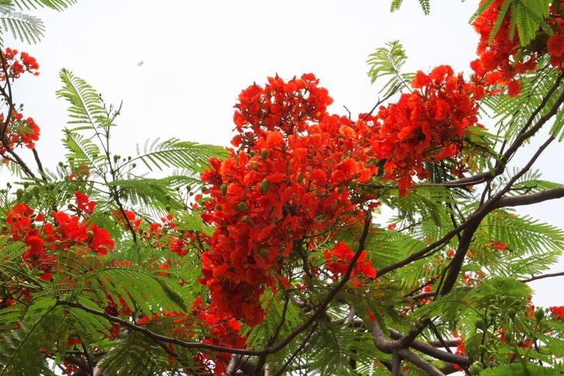 Ngắm sắc đỏ hoa phượng 'đốt cháy' trời hè Hà Nội Ảnh 1