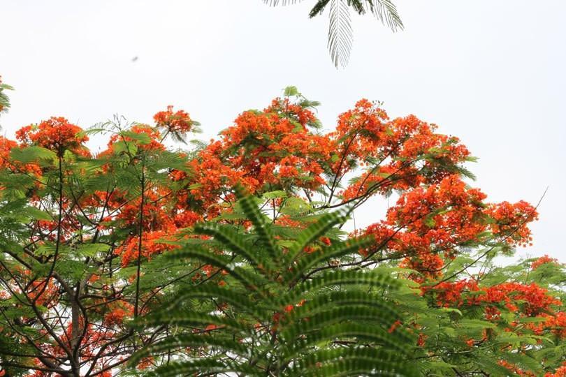Ngắm sắc đỏ hoa phượng 'đốt cháy' trời hè Hà Nội Ảnh 3