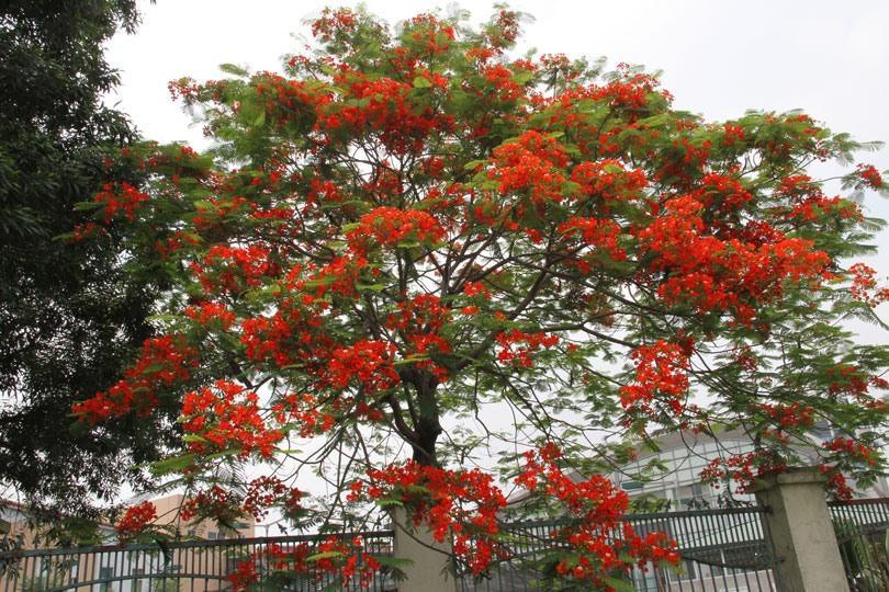 Ngắm sắc đỏ hoa phượng 'đốt cháy' trời hè Hà Nội Ảnh 6