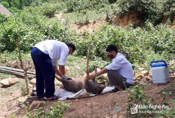 Lợn chết ở xã biên giới Keng Đu (Kỳ Sơn) là do bệnh tụ huyết trùng Ảnh 1