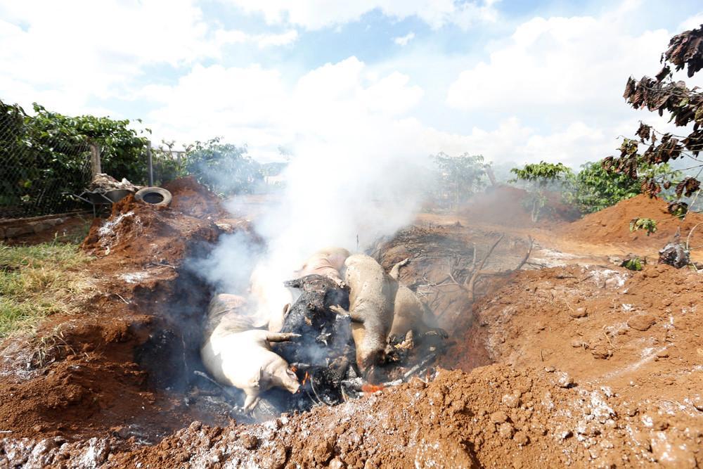 Lâm Đồng xuất hiện ổ dịch tả lợn châu Phi đầu tiên Ảnh 2