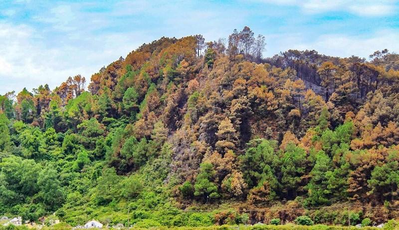 Chùm ảnh: Rừng thông Hồng Lĩnh 'chết đứng' sau cháy rừng Ảnh 10
