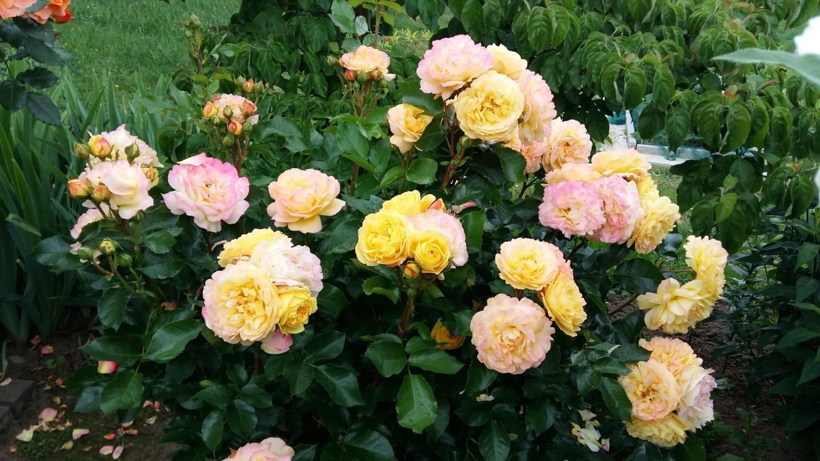 Khu vườn 1000m2 đầy hoa thơm trái ngọt của cặp vợ chồng người Việt ở Đức Ảnh 24