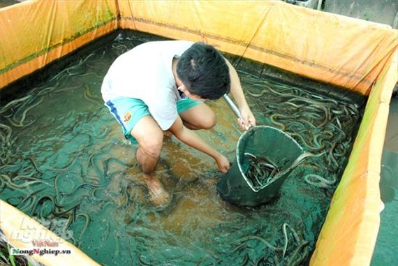 Cần Thơ: Ăn nên làm ra nhờ nuôi lươn không bùn Ảnh 3