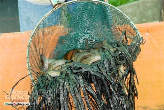 Cần Thơ: Ăn nên làm ra nhờ nuôi lươn không bùn Ảnh 4
