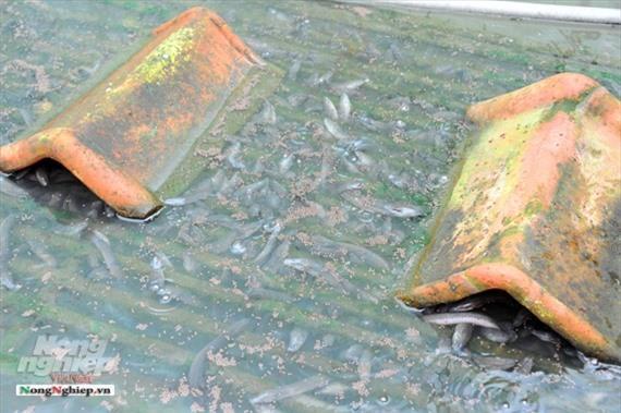 Cần Thơ: Ăn nên làm ra nhờ nuôi lươn không bùn Ảnh 8