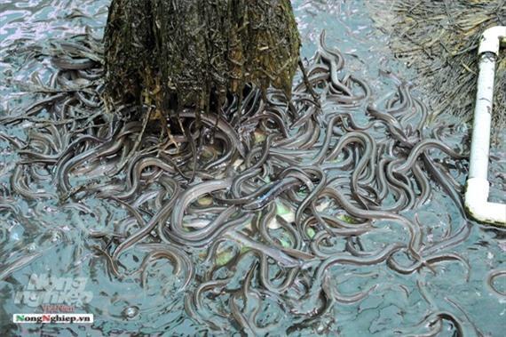 Cần Thơ: Ăn nên làm ra nhờ nuôi lươn không bùn Ảnh 13
