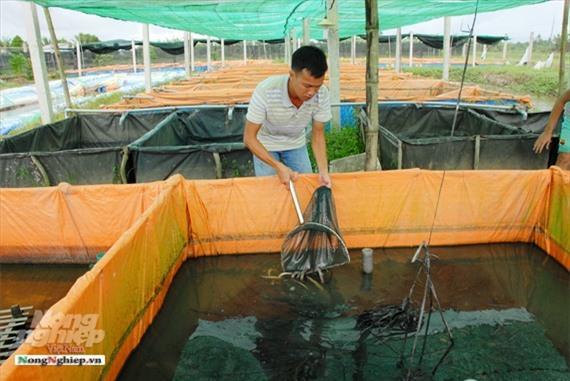 Cần Thơ: Ăn nên làm ra nhờ nuôi lươn không bùn Ảnh 9