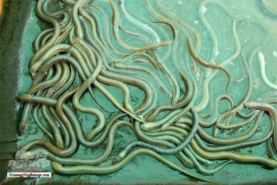 Cần Thơ: Ăn nên làm ra nhờ nuôi lươn không bùn Ảnh 5