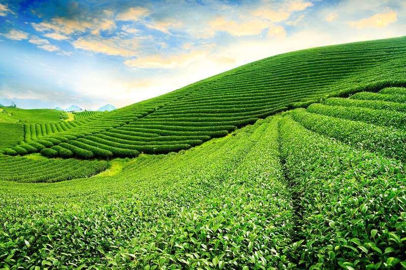 Việt Nam lọt top 15 quốc gia sở hữu nông trường chè đẹp ngất ngây Ảnh 2
