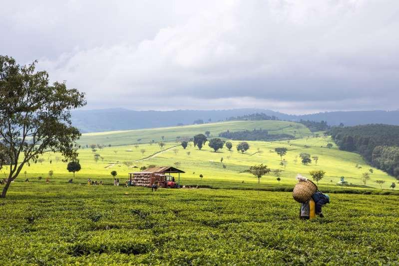 Việt Nam lọt top 15 quốc gia sở hữu nông trường chè đẹp ngất ngây Ảnh 7