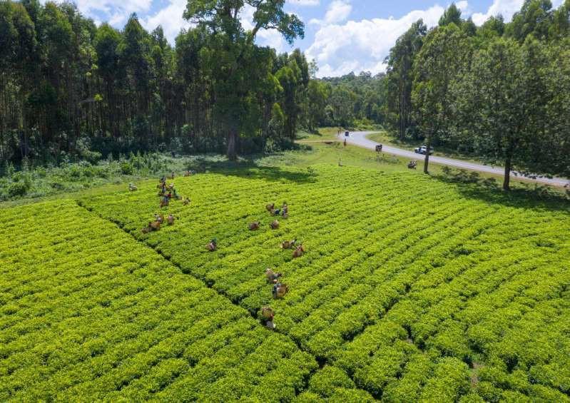 Việt Nam lọt top 15 quốc gia sở hữu nông trường chè đẹp ngất ngây Ảnh 5