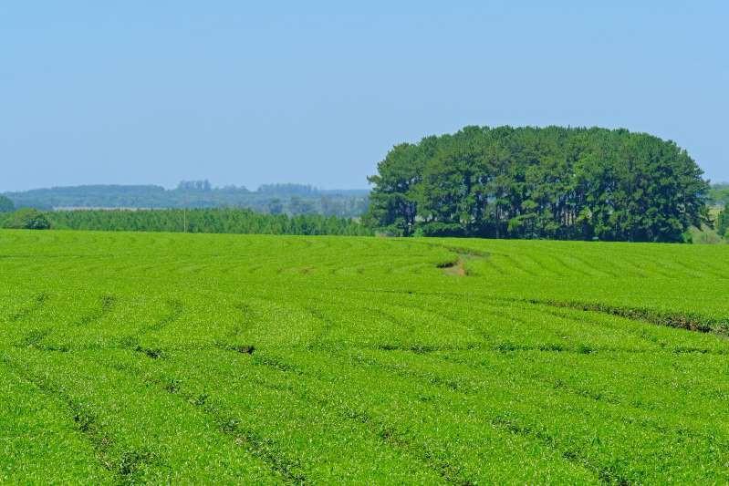 Việt Nam lọt top 15 quốc gia sở hữu nông trường chè đẹp ngất ngây Ảnh 3