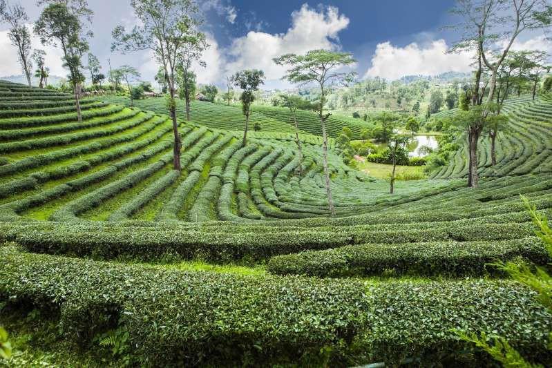 Việt Nam lọt top 15 quốc gia sở hữu nông trường chè đẹp ngất ngây Ảnh 13