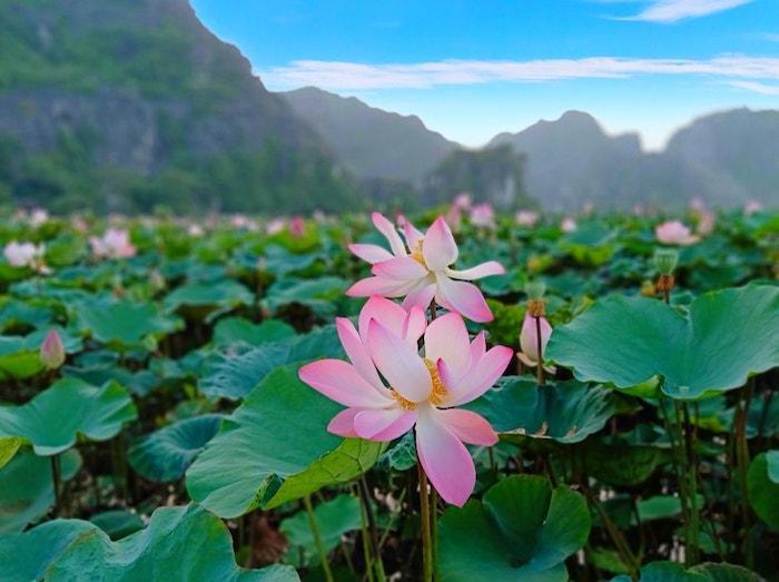 Sen nở rộ, lúa trải vàng ở 'thánh địa check-in' đẹp nhất Ninh Bình Ảnh 2