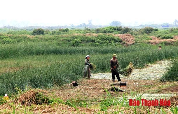 Diện tích cói trên địa bàn xã Nga Tân đạt 210 ha Ảnh 1