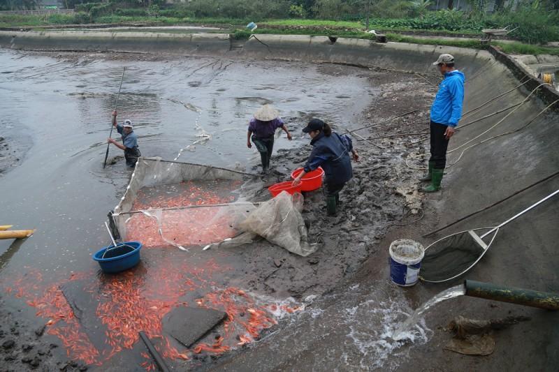 Làng cá chép Thủy Trầm tất bật vào Tết ông Táo Ảnh 3