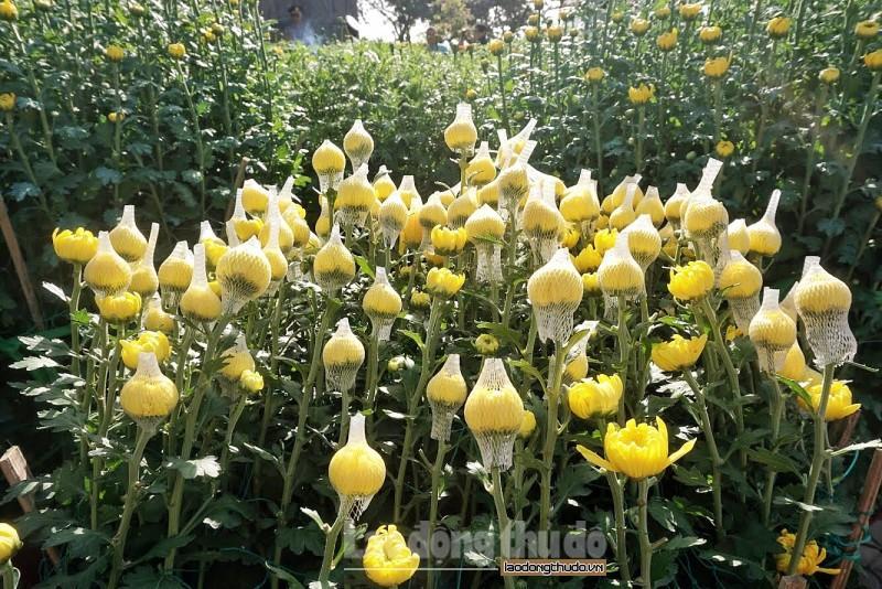 Cúc vàng tô thắm sắc xuân trên huyện đảo Lý Sơn Ảnh 4